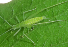 Common Tree Cricket Oecanthus sp nymph BillieJohnsonMtnLakesNaturePresPrinceton19-07-21_01 (Seth Ausubel) Tags: gryllidae orthoptera oecanthinae