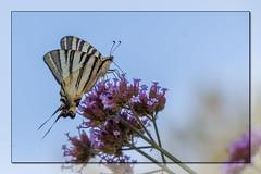 Le Flambé (clamar18) Tags: mérysurcher insecte papillon flambé fleur verveine jardin