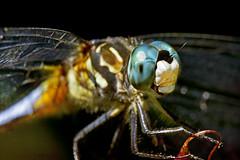 time is for dragonflies (1crzqbn) Tags: dragonfly macro outside refractions nature sliderssunday inmygarden bokeh 1crzqbn