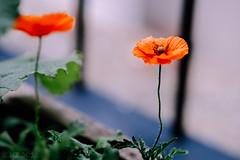 Flowers on my balcony - july 2019: Poppy's (herbnl) Tags: flowers bloemen balkon fujixt3 klaproos poppy