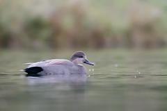 Gadwall, Drake (ayres_leigh) Tags: bird duck gadwall humber bay toronto waterfowl water pond drake fall autumn canon