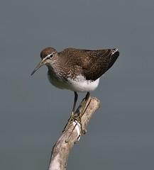 Sandpiper_2666 (marsh and moor) Tags: nikon d850 wildlife nature bird wader sandpiper stodmarsh nnr