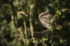 Little Owl (Craig 2112) Tags: little owl athenenoctua bird prey wild yorkshire