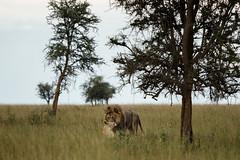 Tansania 06 (bernti_brot) Tags: tansania afrika safari ngorongoro caldera serengeti wildlife ngc löwe lion