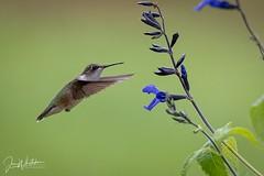 29/52 - Backyard Hummingbird (jonwhitaker74) Tags: hummingbird