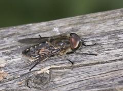 Horsefly - Tabanus sp. (Prank F) Tags: titchmarshlnr wildlifetrust northantsuk wildlife nature insect macro closeup horsefly tabanus