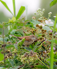 White Throat (ray 96 blade) Tags: springwatch wildlife birds whitethroat foxy germanplane groveferry nnr minsterfox kent
