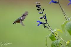 Female ruby-throated hummingbird (jonwhitaker74) Tags: hummingbird