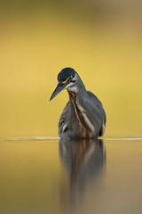 _N814423 (Niklas_N) Tags: heron south africa nature wildlife waterbird bird