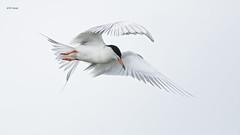 Forster's Tern (featherweight2009) Tags: forsterstern sternaforsteri terns divingbirds aquaticbirds birds