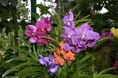 Orchids (hamid-golpesar) Tags: orchids orchid orchidflower singapore nationalorchidgarden nationalorchidgardensingapore botanicalgarden botanic garden park flower flowers colourful colour nature landscape owaysee outdoor tabriz travel hamid hamidowaysee hamidgolpesar iran