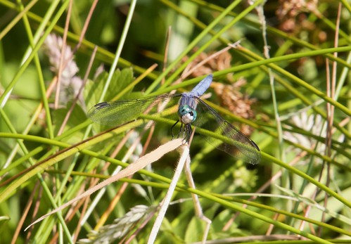 Blue Dasher - Pachydiplax longipennis