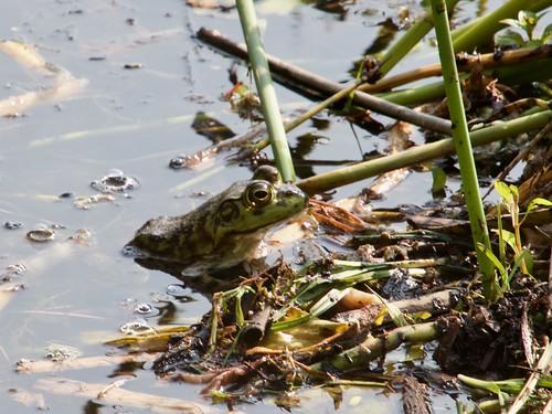 American Bullfrog - Lithobates catesbeianus