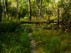 Trail Blocked (surfcaster9) Tags: trail blockage trees lumixg7 lumix25mmf17asph outdoors florida forest nature woods outside
