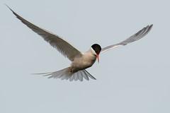 Common Tern (DGooding89) Tags: common tern terns bird sea water flying flight
