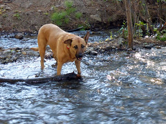 Bella the riverdog (simonov) Tags: humboldttoiyabenationalforest carsonrange mountain hiking whitescreek trail bella dog hund chien 狗 σκύλοσ madra cane 犬 perro 개 سگ собака الكلب germansheprador creek river