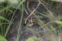 Common Lizards-7033 (WendyCoops224) Tags: 100400mml 80d butterflies canon eos localbirdswildlife ©wendycooper common lizard