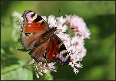 Inachis io, European Peacock Butterfly, Aglais io, Nymphalis io, Vanessa io, Peacock Butterfly, Paun leptir, Danji paun, Danje paunče, Papilio io, 7176 Fa, Učka, 13.VIII.2018. (Morton1905) Tags: inachisio europeanpeacockbutterfly aglaisio nymphalisio peacockbutterfly paunleptir danjipaun danjepaunče papilioio 7176fa učka 13viii2018 vanessaio