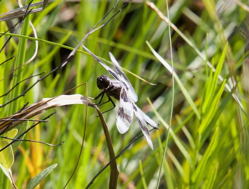 Eight-spotted Skimmer - Libellula forensis