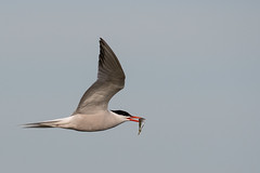 Common Tern with fish (DGooding89) Tags: common tern terns bird sea water flying flight fish with