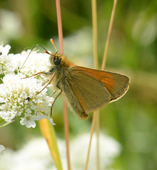 Small Skipper (John_E1) Tags: skipper butterfly ewt littlehavens thymelicus sylvestris smallskipper macro closeup insect