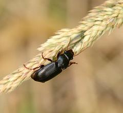 Beetle (John_E1) Tags: beetle insect black closeup poundwood ewt