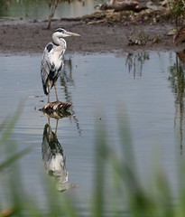 Heron_2772 (marsh and moor) Tags: nikon d850 wildlife nature bird wader heron greyheron stodmarsh nnr
