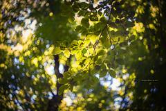Natura II (iSalv) Tags: canon eos 1dmarkiii italia italy basilicata lucania viggiano sacromonte lightroom ps helios 58mm f2 adapter eostom42 pdc maf dof color colori natura nature bosco imac