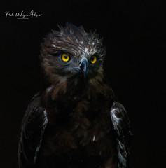 Eagle (michael heyns) Tags: brownsnakeeagle drakensberge naweekweg