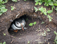 Puffin in his burrow, Farne islands, Northumberland (Sueyork58) Tags: bird burrow puffin farneislands