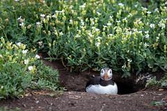 Puffin in his burrow 2 (Sueyork58) Tags: puffin burrow seabird auk farneislands wildlife
