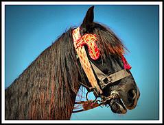 Horse Portrait (jose_miguel) Tags: jose miguel españa spain espagne horse caballo cheval marruecos maroc morocco marrakech marrakesh color colour couleur contraste contrast azul blue bleu marrón brown marron rigotag