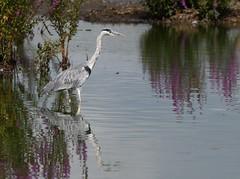 Heron_2784 (marsh and moor) Tags: nikon d850 wildlife nature bird wader heron greyheron stodmarsh nnr
