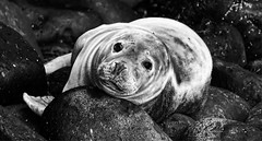 Grey Seal (captures.in.time) Tags: seal greyseal grey pup sea firth forth river shore beach nature naturephotography wildlife wildlifephotography scottishwildlife scottish naturalhistory history ngm ngc planet lonely wild sspca seaside scotland borders isleofmay may isle island firthofforth