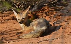 Cape Fox (Idahobill2008) Tags: cape fox kgalagadi transfrontier park