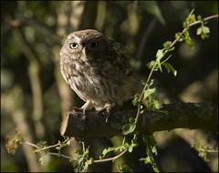 Little Owl (Craig 2112) Tags: little owl athenenoctua wild bird prey yorkshire