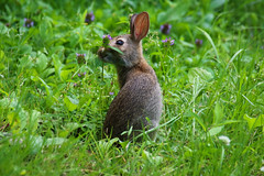 I'll Take This One (Diane Marshman) Tags: cottontail rabbit bunny young immature brown gray white fur small eating clover grass large ears summer pa pennsylvania nature wildlife