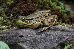 Chillin On A Hot Day (Diane Marshman) Tags: frog amphibian green brown black yellow skin markings summer pa pennsylvania nature rock stone moss