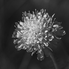 Scabious Black and White (stevedewey2000) Tags: wildflowers salisburyplain wiltshire scabious blackandwhite bw monochrome desaturated 11 square squareformat flora flowers sony70400g sonya99