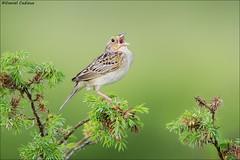 Grasshopper Sparrow (Daniel Cadieux) Tags: sparrow grasshoppersparrow sing singing song call calling ottawa grasslands green