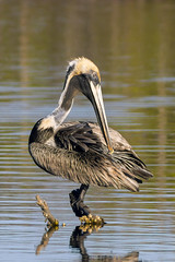 Brown Pelican - Ding Darling National Wildlife Refuge, Sanibel Island, Florida (Larry Hubble) Tags: brownpelican pelecanusoccidentalis dingdarlingnationalwildliferefuge sanibelisland florida unitedstates