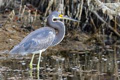Tricolored Heron - Ding Darling National Wildlife Refuge, Sanibel Island, Florida (Larry Hubble) Tags: tricoloredheron egrettatricolor dingdarlingnationalwildliferefuge sanibelisland florida unitedstates