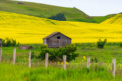 Old Barn in The Canola Field (TheNovaScotian1991) Tags: abandoned barn farm alberta canada canola field crop prairie nikond7100 beautiful landscape barbedwirefence bush shrub