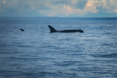 06.27.2019 (TheWeltyFamily) Tags: britishcolumbia 2019 june theweltyfamily vancouver canada oceanecoventures whale killerwhale biggskillerwhale cowichan cowichanbay orca