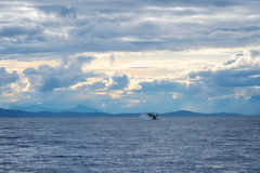 06.27.2019 (TheWeltyFamily) Tags: canada june vancouver britishcolumbia whale orca killerwhale cowichan cowichanbay 2019 oceanecoventures theweltyfamily biggskillerwhale