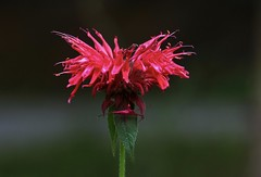 Bee Balm (Diane Marshman) Tags: beebalm monarda red color summer blooming blooms blossoms garden landscape perennial tall plant closeup green leaves stem pa pennsylvania nature