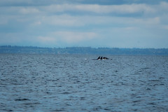 06.27.2019 (TheWeltyFamily) Tags: britishcolumbia 2019 june theweltyfamily vancouver canada cowichan cowichanbay oceanecoventures orca whale killerwhale biggskillerwhale