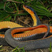 Yellow Bellied Watersnake (Nerodia erythrogaster flavigaster)