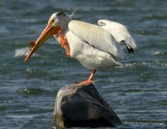 Pélican d'Amérique, American White Pelican.  DSC_3132 (Pierre Casavant) Tags: pélicandamérique americanwhitepelican pelecanuserythrorhynchos