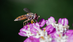 Free Gatorade! (Anniemotion Photographe) Tags: bees abeilles pollinisation insectes fleurs été fleursroses macrophotographie macrophoto